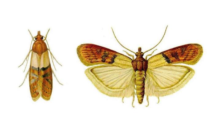 жуки в крупах