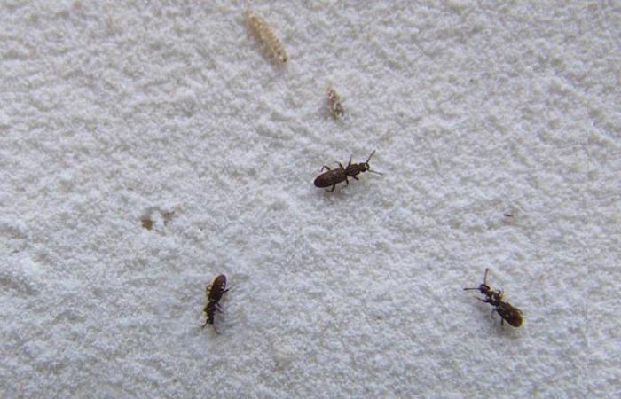 жуки в крупе